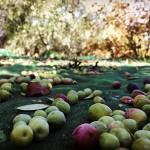 Recogida de olivas en Baix Camp