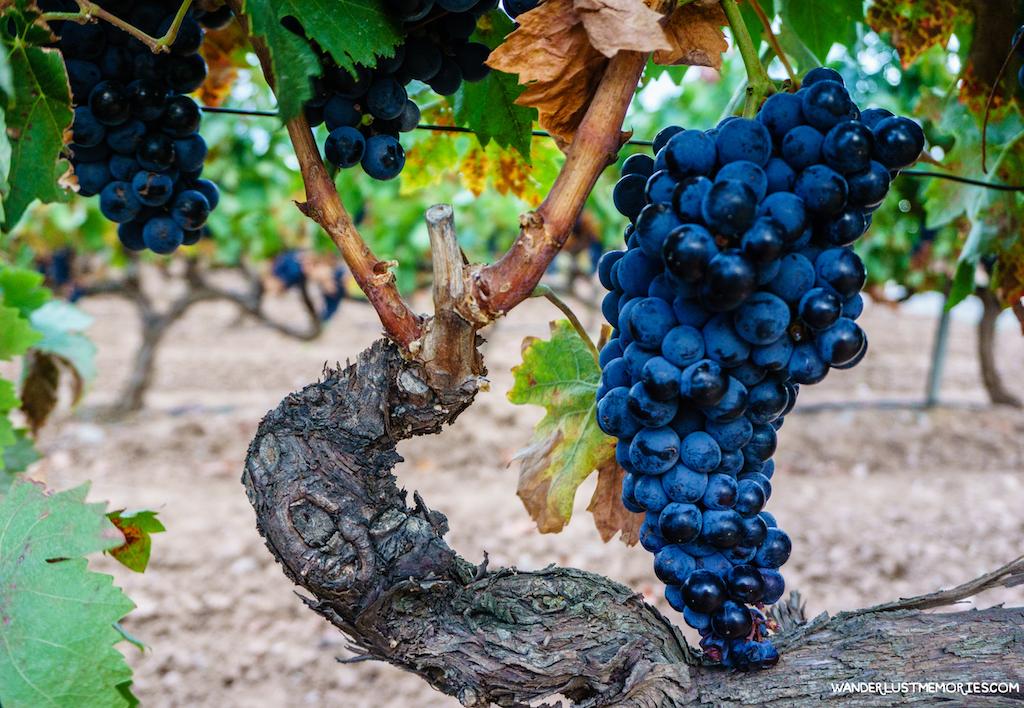 la rioja uva